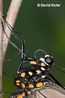 1021-0807  Close-up of Polydamas Swallowtail, Detail of Proboscis Coiled Up (Life Cycle Series), Battus polydamus  © David Kuhn/Dwight Kuhn Photography