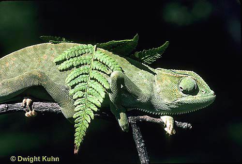 CH25-032z  African Chameleon - color change due to temperature difference, under leaf skin is cooler -   Chameleo senegalensis