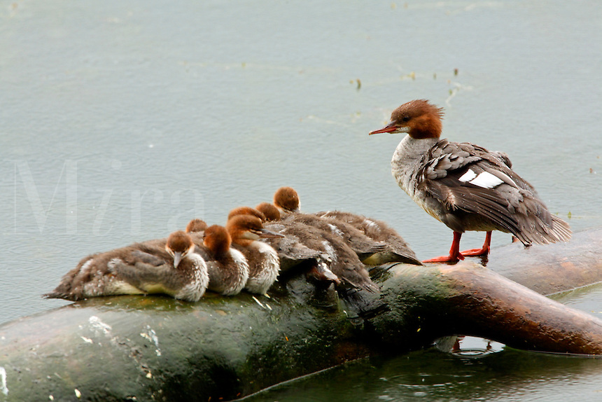 Mother duck and ducklings.