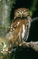 Strichelkauz, Strichel-Kauz, Glaucidium brasilianum, Ferruginous Pygmy Owl