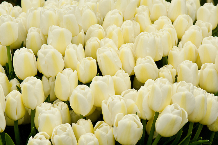 Creamy white Tulip 'Angels Wish' (Single Late Group), raised in Latvia and first introduced in 2007.