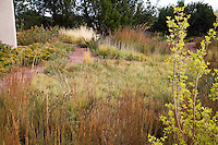 Dry grassland garden with meadow lawn mix groundcovers of Blue grama grass (Bouteloua gracilis), Galleta (Hilaria jamesii), and Purple three-awn (Aristida purpurea), edged with taller grass - Little Bluestem (Schizachyrium scoparium)