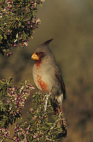 Pyrrhuloxia (Cardinalis sinuatus), male on blooming Guayacan (Guaiacum angustifolium), Starr County, Rio Grande Valley, Texas, USA