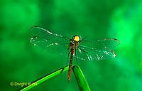1O05-023a  Skimmer Dragonfly flying - Ruby Meadowhawk Male - Sympetrum rubicundulum