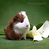 Xavier, ANIMALS, REALISTISCHE TIERE, ANIMALES REALISTICOS, photos+++++,SPCHGUINEA101,#A#, EVERYDAY ,funny