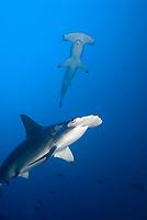 two big scalloped hammerhead shark from underneath, belly of a shark, Cocos Island, Bajo Alcyone, Costa Rica, Sphyrnidae, Sphyrna lewini