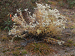 Pearly everlasting, Anaphalis margaritacea, compositae, daisy family<br />