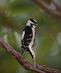 Downy Woodpecker on branch of Sumac Tree