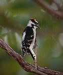 Downy Woodpecker on branch of Sumac Tree