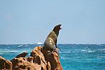 CA Sea Lion barking