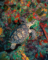 hawksbill sea turtle, Eretmochelys imbricata, Bloody Bay Wall, Little Cayman, Cayman Islands, Caribbean Sea, Atlantic Ocean