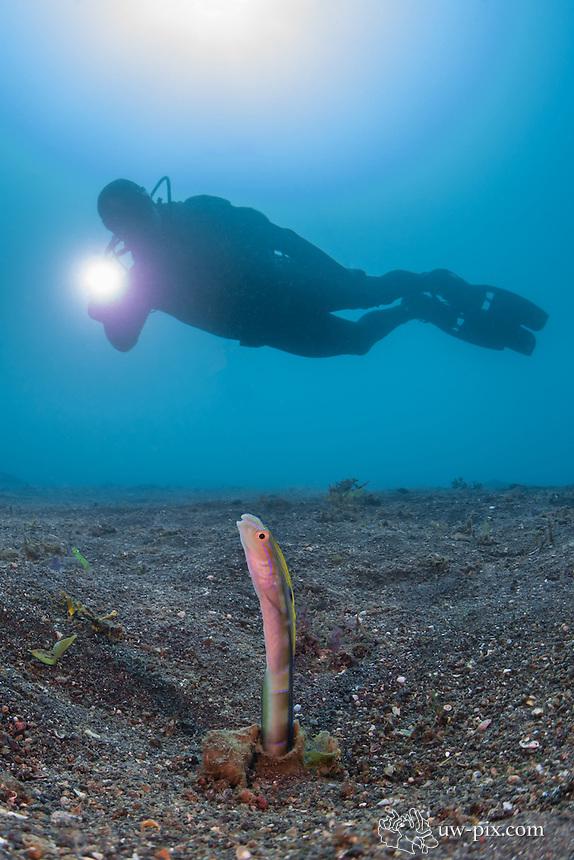 Snake Blenny with diver