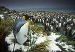 King penguin at edge of rookery, South Georgia Island