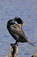 Double-crested Cormorant (Phalacrocorax auritus) in spring breeding plumage.  Pacific Northwest.