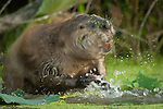 American Beaver bathing, Missouri