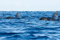 Short finned pilot whale (globicephala macrorhynchus) Easten Caribbean. Two pilot whales approach head on.