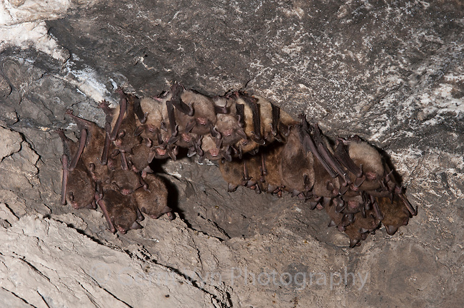 Endangered Indian Bats (Myotis sodalis) hibernating in a mine in eastern New York. Ulster County. January.