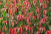 Hollande, région des champs de fleurs, Lisse, Keukenhof, Tulipa 'Pinocchio' // Tulips 'Pinocchio'