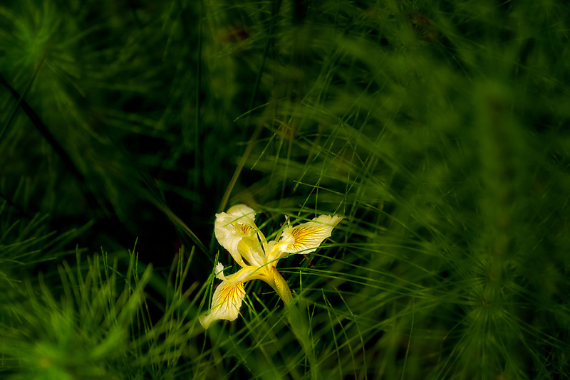 Yellow iris growing in Horsetail Rush. Crystal Springs Rhododendron Gardens, Oregon