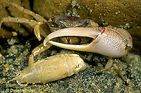 1Y43-011d  Sand Fiddler Crab - male with large claw withmole crab prey - Uca pugilator