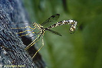 1W17-004b  Ichneumon Wasp - Megarhyssa macrurus. - laying egg through wood to parasitize Tremex columba (horntail) developing inside
