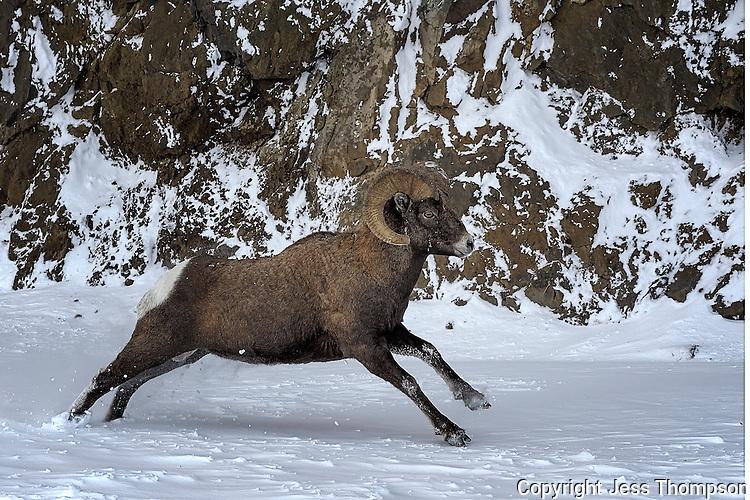 Bighorn Ram running in snow, Cody, Wyoming