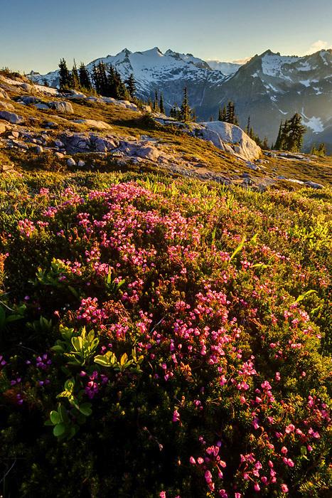 Pink mountain heather in subalpine meadow, Mount Daniel in background, Wenatchee Mountains, central Washington Cascade Mountains
