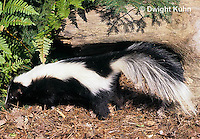 MA09-025z  Striped Skunk - in forest - Mephitis mephitis