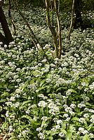 Bärlauch (Allium ursinum) im Døndal (Donnertal) )auf der Insel Bornholm, Dänemark, Europa<br /> ramson (Allium ursinum) in Døndal, Isle of Bornholm Denmark