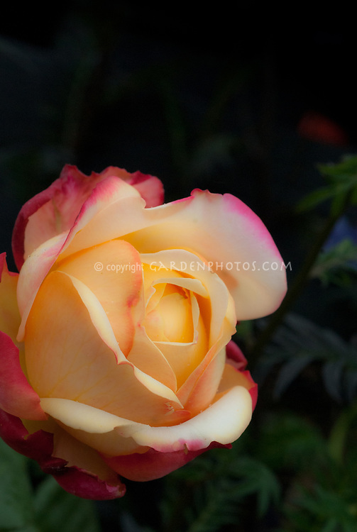 Rosa 'Kordes Jubilee' Large flowered rose in salmon pink yellow, Hybrid tea dedicated to Kordes' 125th Anniversary, double blooms yellow with pink trim