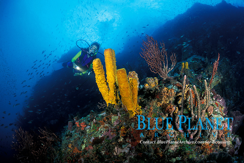diver exa,omes yellow tube sponges, Aplysina fistularis, at New Guinea Reef, St. Vincent or Saint Vincent (Eastern Caribbean Sea)