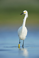 Snowy Egret (Egretta thula), adult walking, Dinero, Lake Corpus Christi, South Texas, USA