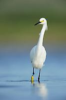 Snowy Egret (Egretta thula), adult walking, Dinero, Lake Corpus Christi, South Texas, USA