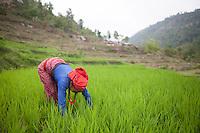 A woman harvests paddy on a mountain at Malanchi, outskirt of Kathmandu, Nepal. May 11, 2015