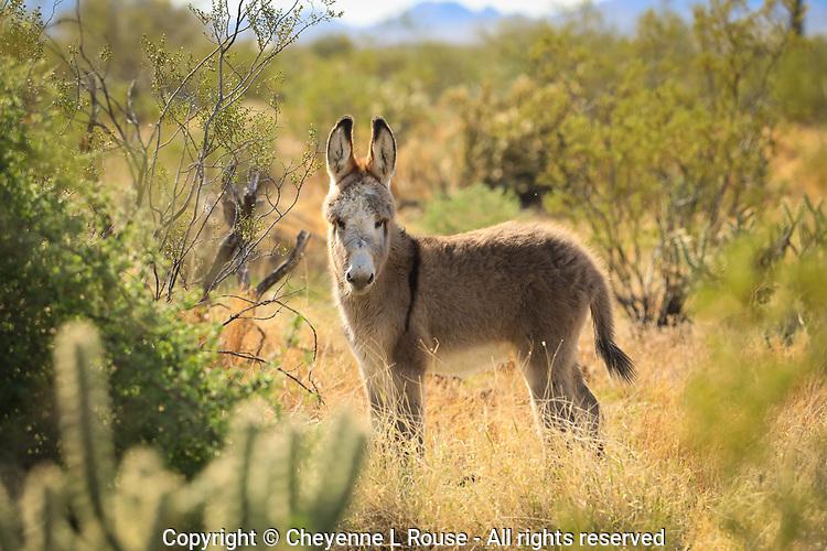 Wild Baby Burro - Arizona