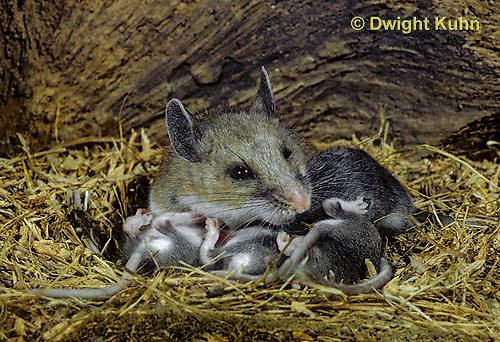 MU28-009z  Deer Mouse - nursing 16 day old young -  Peromyscus maniculatus