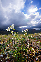 Narcissus flowered anemone, Highway Pass, Denali National Park, Alaska