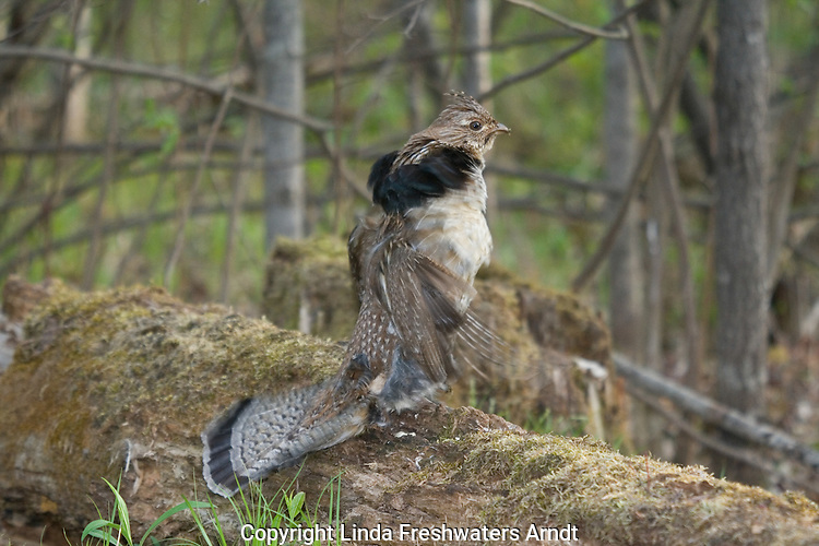 Ruffed grouse (Bonasa umbellus) drumming his wings to attract a mate