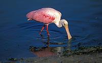 Roseate Spoonbill (Ajaia ajaja) searching for food at Ding Darling National Wildlife Refuge, south Florida