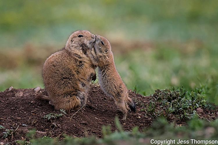 Immature Prairie Dog touches mother.