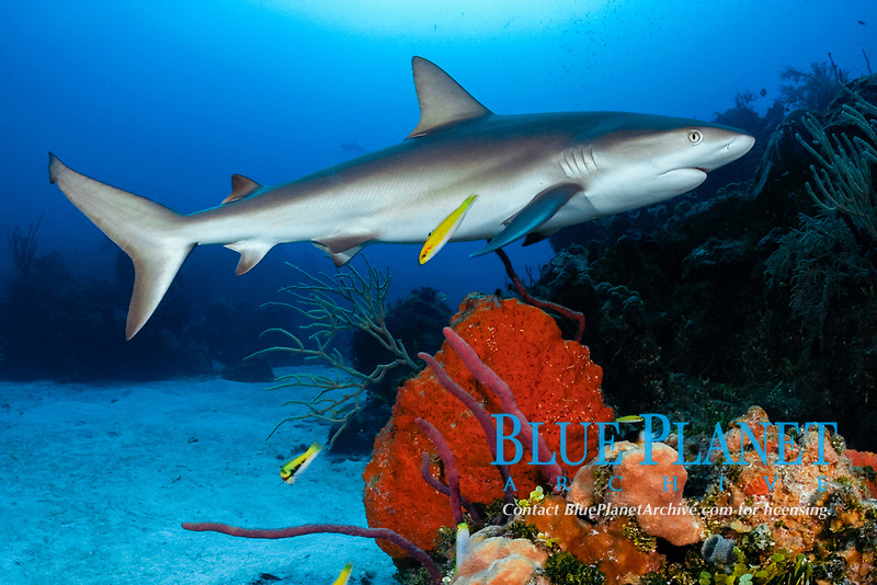 Caribbean reef shark, Carcharhinus perezii, on coral reef with orange elephant ear sponge, Agelas clathrodes, Bahamas (W. Atlantic) (do)