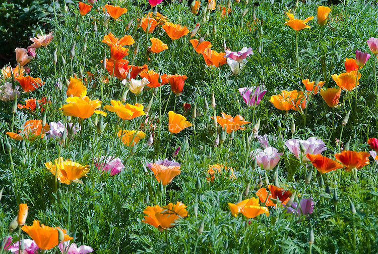 Eschscholzia californica 'Tropical Punch Mix' California poppy, annual flowers for cool-seasons