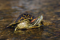 Red-eared Slider, Trachemys scripta elegans, adult in creek, Willacy County, Rio Grande Valley, Texas, USA, June 2006