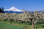 Mt. Hood and apple orchard with trees blooming in Spring; Hood River Valley, Oregon..#2370-0515