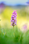 Mature broad-leaved marsh orchid<br />