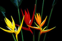 Three varieties of Heliconia angusta, from left to right: pagoda, christmas, flava