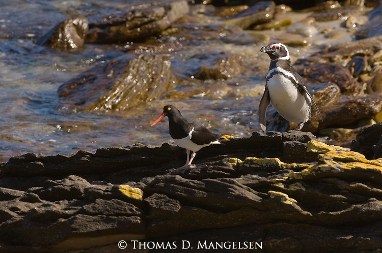 Magellanic penguin and Magellanic oystercatcher on Steeple Jason Island in the Falkland Islands.