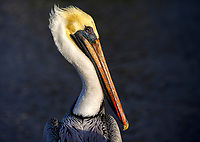 A pelican is photographed in the Everglades in Florida.