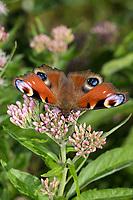 Tagpfauenauge, Tag-Pfauenauge, Blütenbesuch auf Wasserdost, Aglais io, Inachis io, Nymphalis io, peacock moth, European peacock, peacock, peacock butterfly, Le Paon du jour