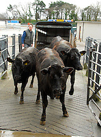 Limousin x Friesian finished cattle from Bill Waring of Millom.